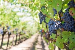 CAP AgriAssurance: $2.3M for Canadian Wine Industry