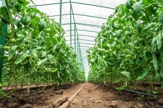Commercial Greenhouse Lighting and Energy Innovations