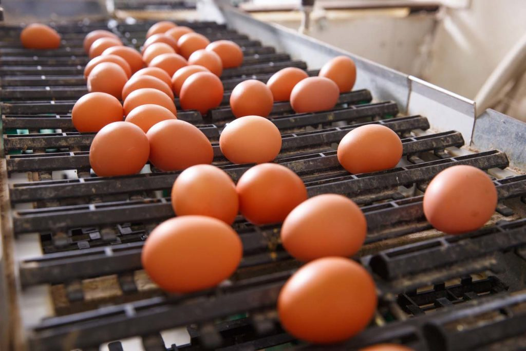Fresh and raw chicken eggs on a conveyor belt being moved to the packing house. Consumerism egg production automated business organic farming concept.